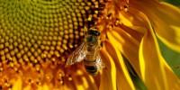 Медоносни пчели без жило