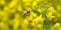Подобрение на пчелната паша