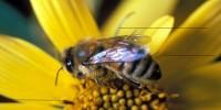Апитоксин (пчелната отрова)