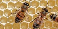 Прополис  (пчелният клей)