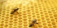 Биологични особености на медоносната  пчела