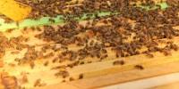Пчелно млечице и желе-роял-терапия