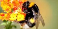 Земни пчели