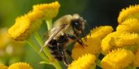 Размножаване   на медоносната пчела
