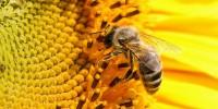 Роене при медоносната пчела